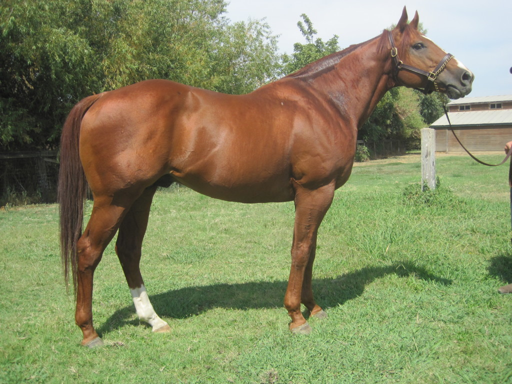 Elusive Warning Thoroughbred Conformation